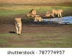 lion family in liuwa plains... | Shutterstock . vector #787774957