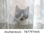 Stock photo tiny kitten hiding behind white lace curtains selective focus 787797445