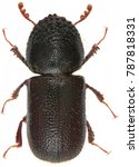 dinoderus japonicus is a...   Shutterstock . vector #787818331