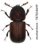 dinoderus minutus is a species... | Shutterstock . vector #787818649