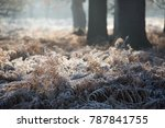 Wintry Scene Of Frosty Ferns O...