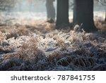 Wintry Scene Of Frosty Ferns O...