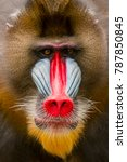 Portrait Close Up Mandril