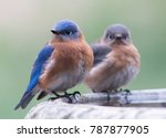 A Pair Of Eastern Bluebirds...