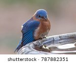 A Male Bluebird With An Annoye...