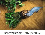 Small photo of plant transplant Zamioculcas denuded roots of house plants and cat Canadian Sphynx
