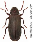the common furniture beetle or... | Shutterstock . vector #787901299