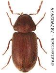 The drugstore beetle  stegobium ...