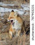 Red Fox Yawn  Vulpes Vulpes   Nj