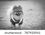 the wear  aggressive spitz dog... | Shutterstock . vector #787920541