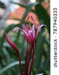 Small photo of Crinum Lily, Crinum procerum var splendens, Amaryllidaceae
