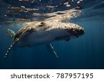 humpback whales in the blue... | Shutterstock . vector #787957195
