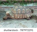 african spurred tortoise ... | Shutterstock . vector #787972291