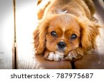 Stock photo sunset portrait of a king charles cavalier puppy this is a very loving and wonderful family pet 787975687