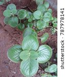 Small photo of ajwain plant leaf