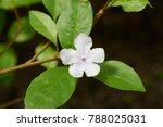 Brunfelsia Australis Flower....