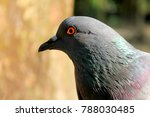 Beautiful Pigeon On Isolated...