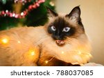 cat balinese sitting on the bed ...   Shutterstock . vector #788037085