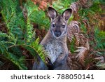 A Red Necked Wallaby  Or...
