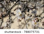 almond blossom from the almond... | Shutterstock . vector #788075731