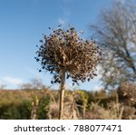 Dried Flower Head In Autumn Of...