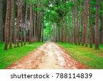 morning the beautiful pine... | Shutterstock . vector #788114839
