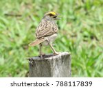 Small photo of Singing Yellow-browed Sparrow (Ammodramus aurifrons) Emberizidae family. Amazon rainforest, Brazil