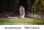 Small photo of Tiger approaching from tunnel