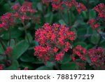 Small photo of Kalanchoe This stone rose for many years. It is native to Africa and Asia. Suitable for planting potted plants in homes. The flower is easy to grow, easy to flower a bouquet of flowers.