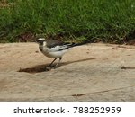 Small photo of African pied wagtail walking an a walkway.