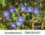 Blue Star  Ipomoea Tricolor ...