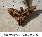 Small photo of Agathodes designalis, the sky-pointing moth, is a moth in the Crambidae family. Amazon rainforest, Brazil