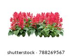 Stock photo tropical plant red flowers bush tree isolated on white background with clipping paths 788269567