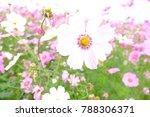 pink starburst flowers garden...