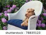Welsh Terrier In Wicker Chair...