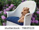 Welsh Terrier In Wicker Chair...
