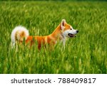 dog in a field with tall grass. ... | Shutterstock . vector #788409817