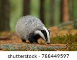 badger in forest  animal in... | Shutterstock . vector #788449597