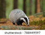 badger in forest  animal in... | Shutterstock . vector #788449597