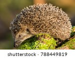 Adult Hedgehog On Green Moss...