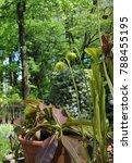 carnivorous plant sarracenia   Shutterstock . vector #788455195