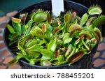 carnivorous plant dionaea...   Shutterstock . vector #788455201