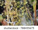 drosera carnivorous plant   Shutterstock . vector #788455675