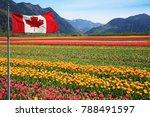 fields of tulips in british... | Shutterstock . vector #788491597