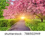 park with alley of blossoming...   Shutterstock . vector #788502949