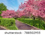 park with alley of blossoming...   Shutterstock . vector #788502955