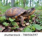 An Eastern Box Turtle Checking...