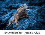Small photo of The Galapagos Islands. Ecuador. Marine Iguana on the Pacific Ocean beach. The beach of the Galapagos Islands. Pacific Ocean.