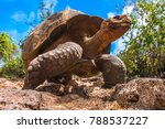 Stock photo the galapagos islands ecuador galapagos tortoise in motion island of santa cruz the old turtles 788537227