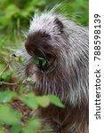 juvenile porcupine foraging | Shutterstock . vector #788598139
